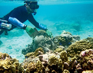 Dr. Dan Barshis collecting tiles that were placed on the reef to assess coral settlement rates. Coral recruits that settle on the ceramic tiles can be counted, identified and genotyped to assess their population of origin