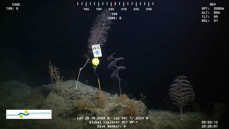 The first physical marker FK-01 was deployed near a coral site featuring golden corals Chrysogorgia and Iridogorgia, black coral Stauropathes, and a Paramuricea octocoral with brittle star.