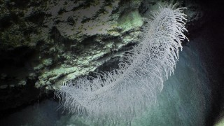 Glass sponge in the Perth Canyon.