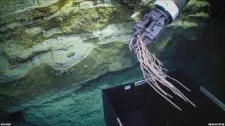 The manipulator of ROV Comanche collecting deep sea coral (Narella spp.) from a steep cliff face in the Perth Canyon.