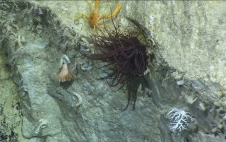 An assemblage of deep sea animals in the Perth Canyon.