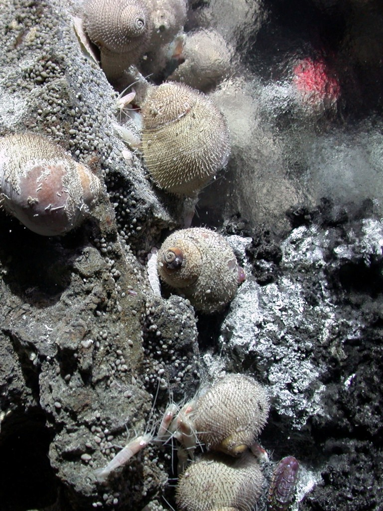 One of the hydrothermal vent sea snails (Alviniconcha sp) that will be collected and kept in the high pressure aquaria.