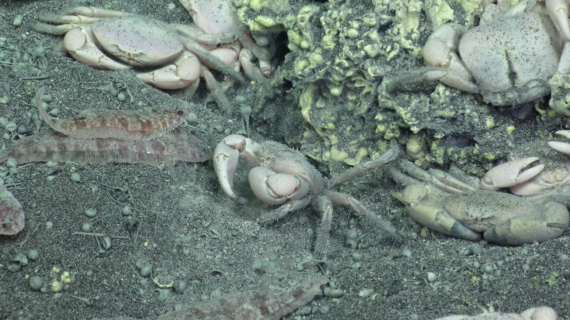 Crabs & flatfish hang out next to an underwater volcano. We're studying how they interact together in this unusual ecosystem.