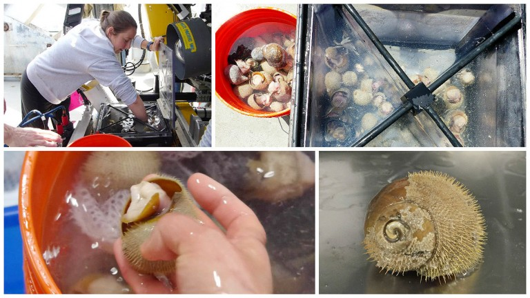 Once the remotely operated vehicle ROPOS is back on board the ship, the laboratory work begins. The Alvinichoncha snails collected are quickly removed from the sealed biological box and rushed to the lab for immediate processing.