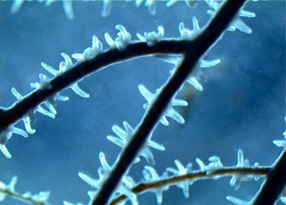 Microscope view of a black coral.