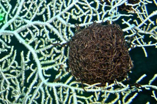 A basket star clumped on a sea fan.