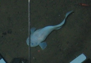 Snailfish in the Mariana Trench, 6200 meters.