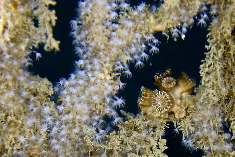 Close view of a small clump of cup hard corals within a soft coral frame.