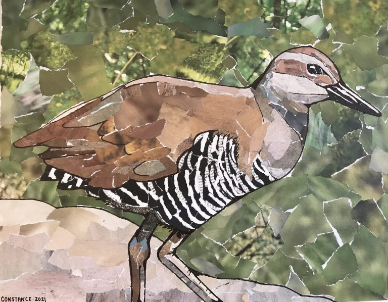 A picture of a collage art piece by Constance Sartor. The piece depicts a flightless bird only found in Guam. The bird has a light brown back and a white and black barred stomach