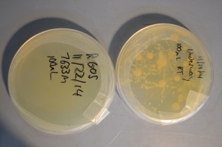 A comparison of microbes plated from surface water versus those from deep water within the trench.