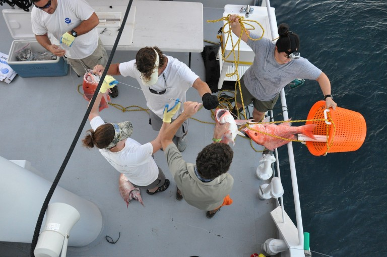"Science team uses longline ""300lb test"" to bring aboard, measure, tag, and release samples"
