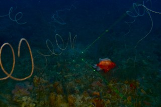 A short bigeye squirrelfish among the ubiquitous sea whip curls. The green lines are lasers used to provide scale.