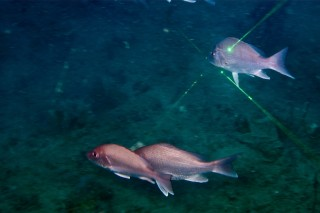 Red snapper swimming through the ROVs laser beams.